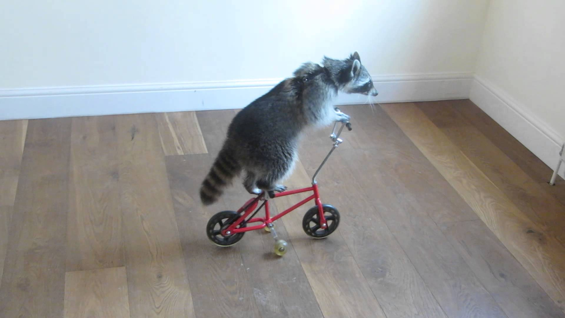 Talented Raccoon Rides a Red Bicycle, a Purple Skateboard and a Pink Scooter Across the House