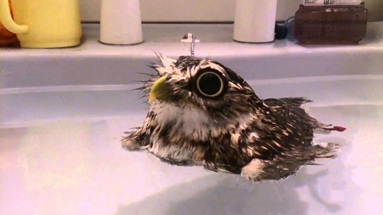 Tiny Owl Pretends To Be a Rubber Ducky While Bobbing Around in a Warm Bath
