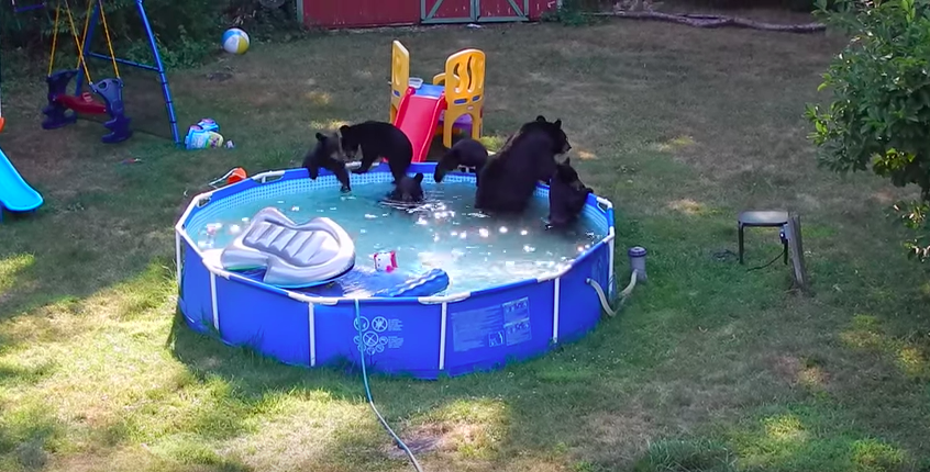 Mama bear and her five cubs take over a new jersey backyard pool on a very hot summer s day for Bears in swimming pool new jersey