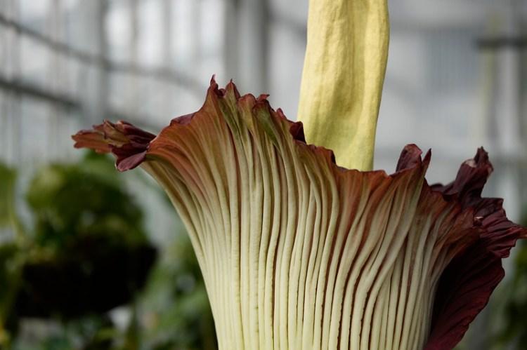 Denver Corpse Flower