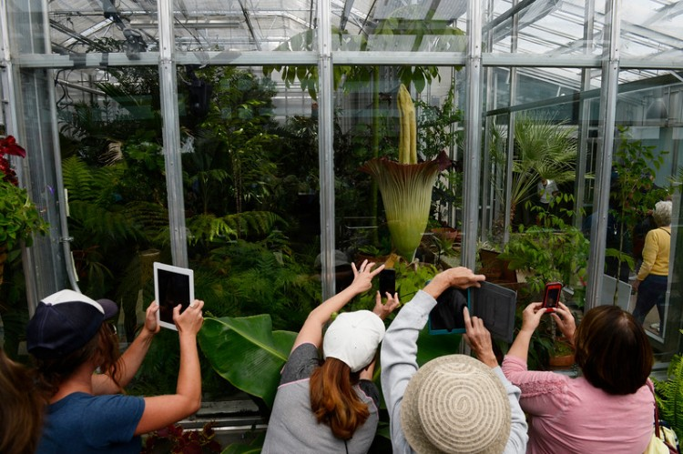 Denver Corpse Flower with onlookers