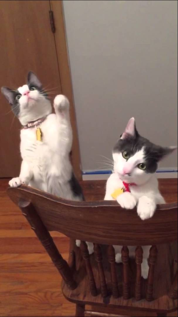 Pair of inquisitive cats become fascinated with the spinning a pair of inquisitive cats become fascinated with the spinning blades of a ceiling fan mozeypictures Image collections