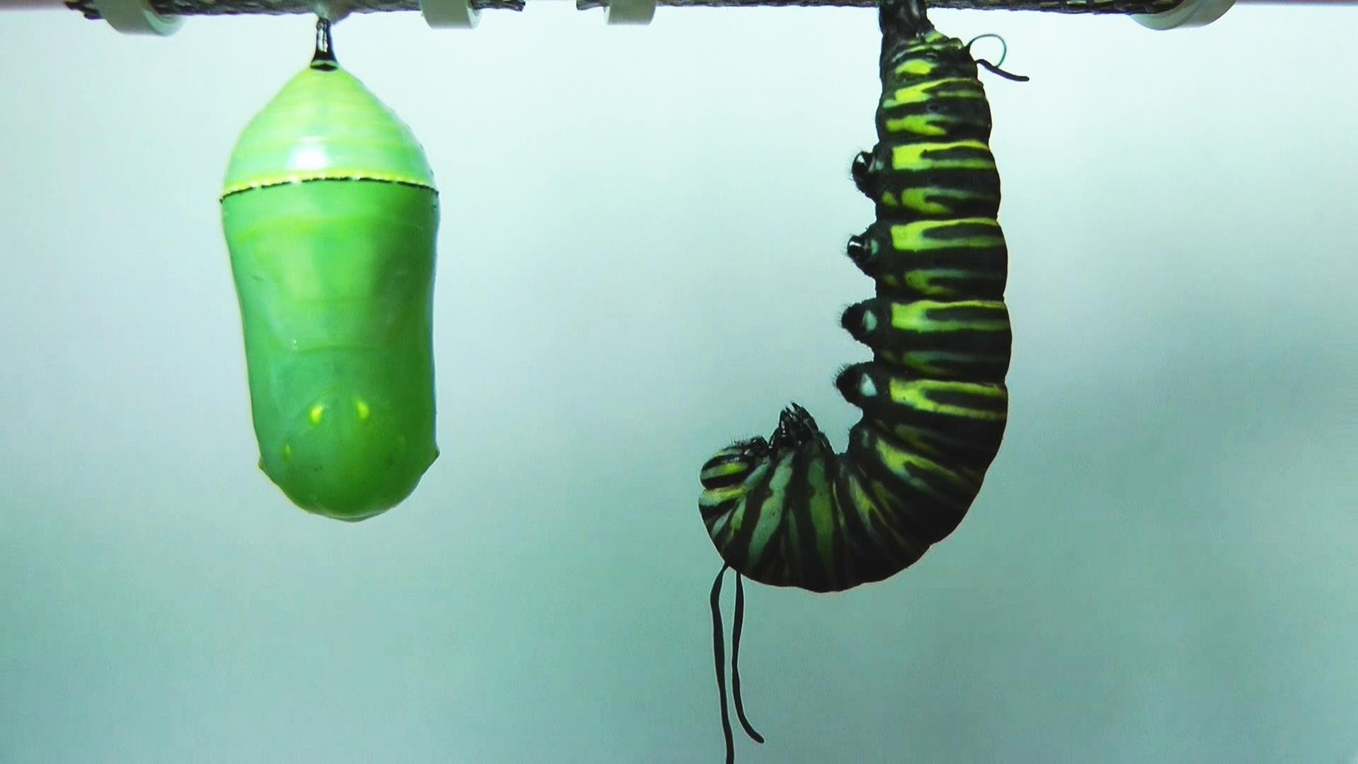 the metamorphosis of a larva into Metamorphosis: the changes in form after the last larval instar, the insect changes into a pupa larva: the immature form (between egg and pupa.