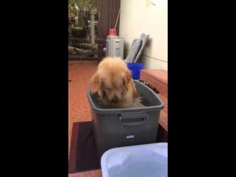 Adorably Gleeful Golden Retriever Attempts to Manually Convert His Bath Into a Jacuzzi