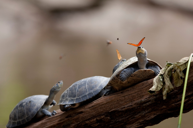 butterflies drink turtle tears