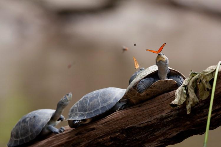butterflies drink turtle tears