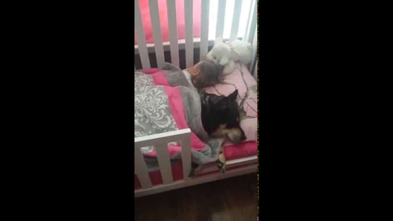 Devoted Dog Snuggles Up Under the Blanket Beside His Sleeping Human Toddler in Her Crib