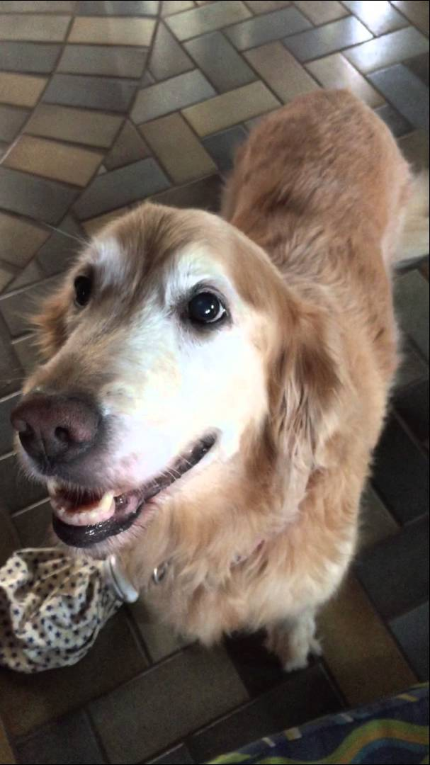 Golden Retriever Reacts Excitedly to the News That She No Longer Has Cancer
