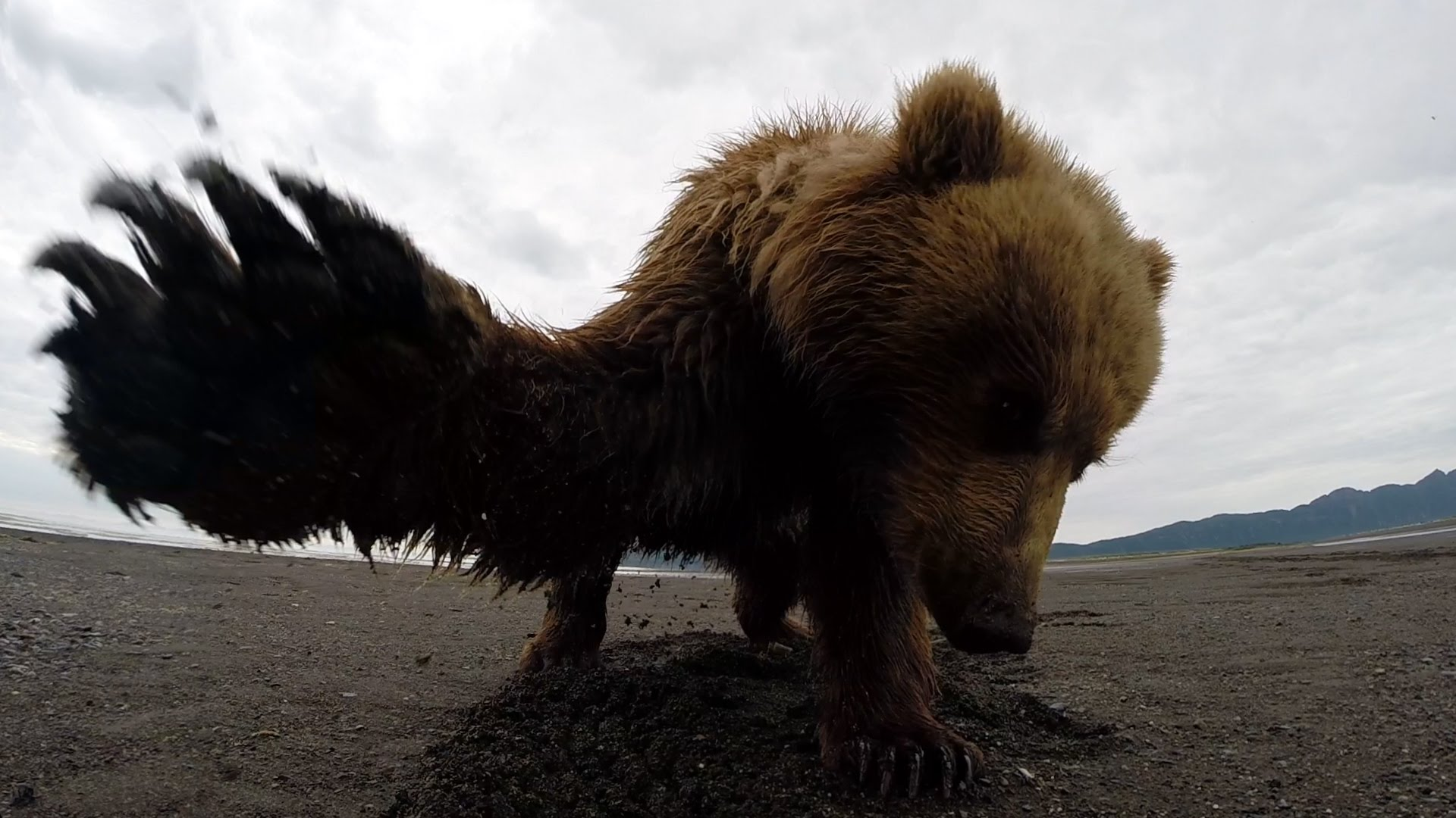 Grizzly Bear Swats a GoPro Camera in Alaska