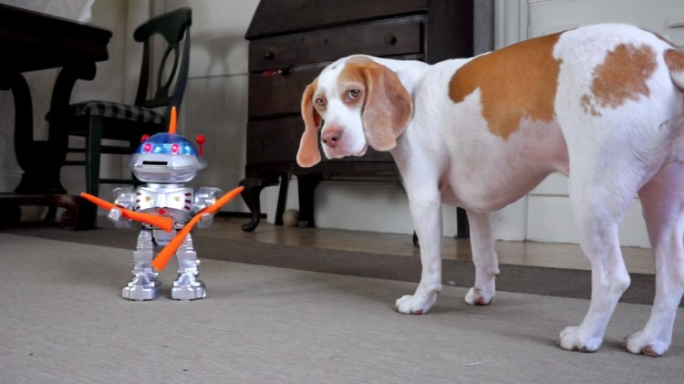 Maymo the Lemon Beagle Encounters a Carrot Wielding Killer Robot
