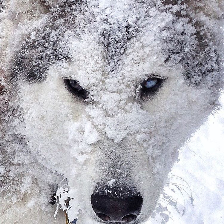 Loki in Snow