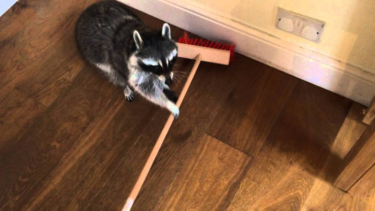 Helpful Raccoon Attempts To Sweep The Floor With An