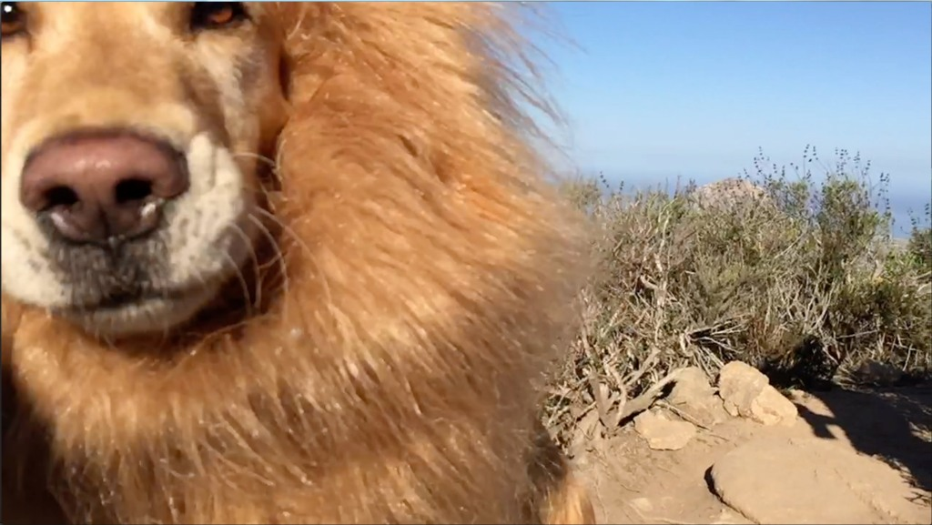 Majestic Lion-Dog Chases After Bubbles At the Top of a California Mountain