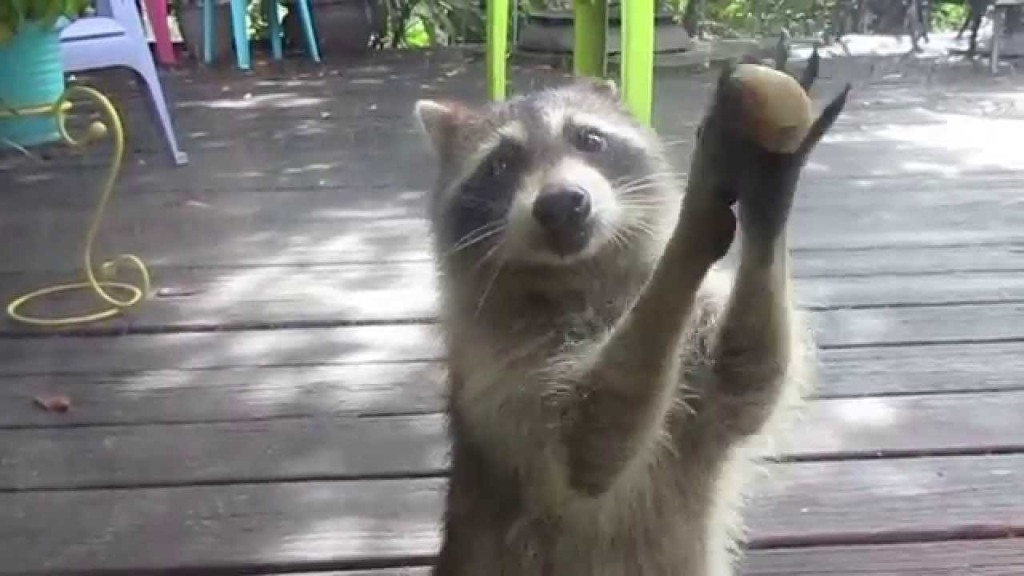 Raccoon Cleverly Knocks on a Glass Door With Rock Between Her Paws When Cat Food Bowl Is Empty
