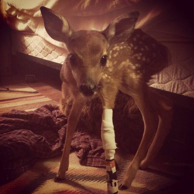 Fawn with Splint