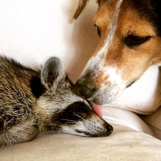 Pumpkin The Rescued Baby Raccoon Fits Right In With Her Family Of - Pumpkin rescued raccoon