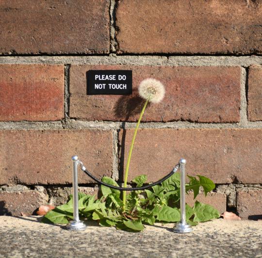 Please Do Not Touch Dandelion