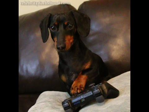 An Emotive Dachshund Gets a Bit Agitated While Playing a Zombie-Killing Video Game