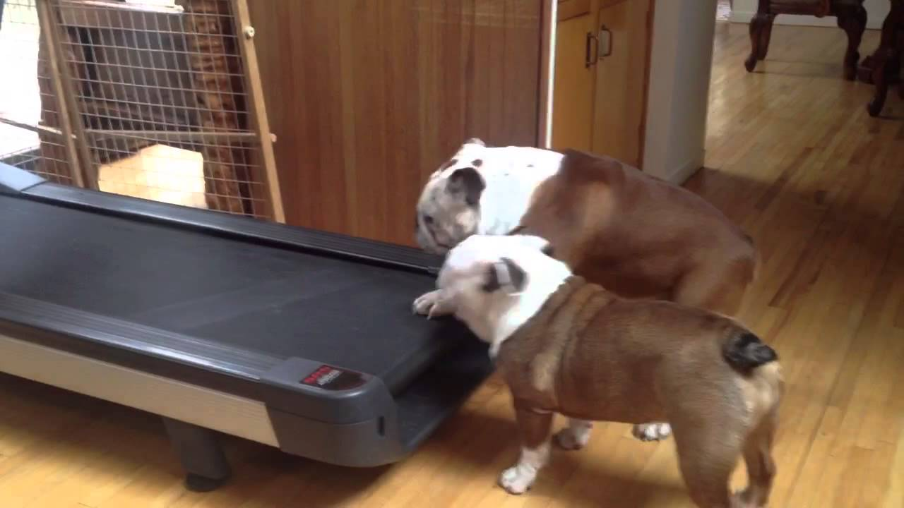 funny english bulldog siblings hilariously fight over who gets to go