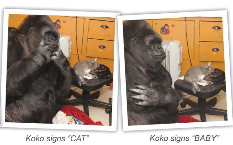 koko_signs_CAT_and_BABY