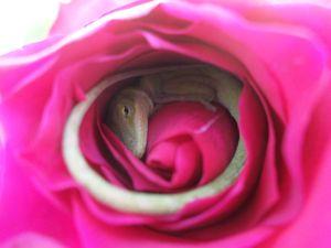 Lizard Rose