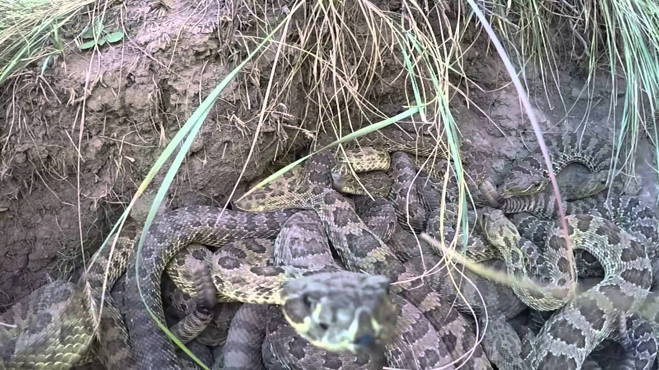 Rattlesnake Strikes at a GoPro Causing It to Fall Into a Pit With All the Other Rattlesnakes