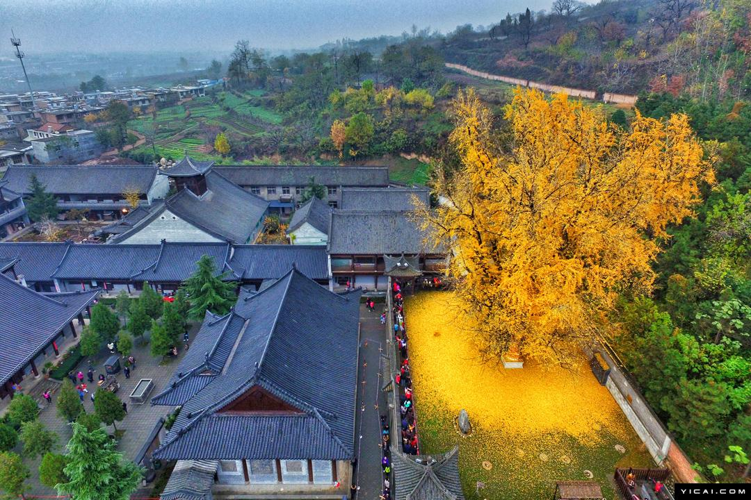 Golden Leaves From a Giant Gingko Tree Carpet the Gardens of an