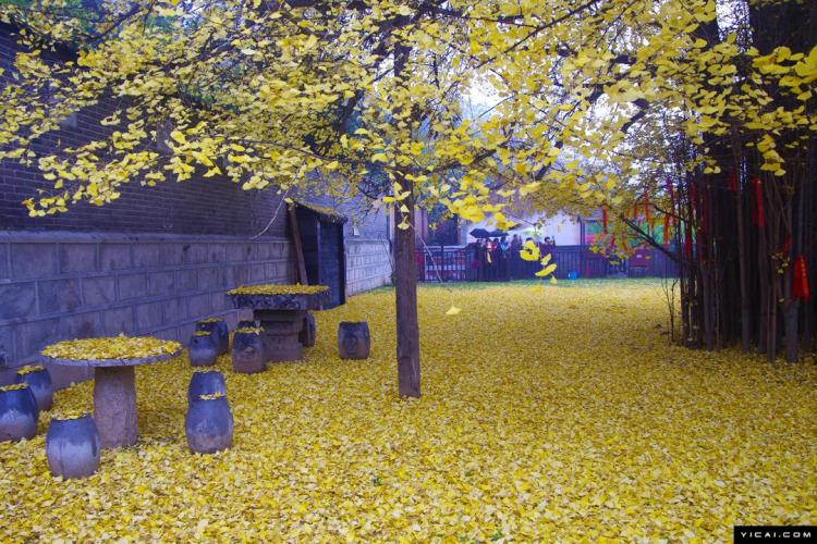 1400 Gingko Leaves