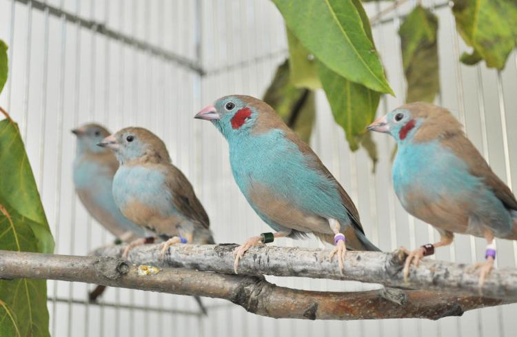 African Finches
