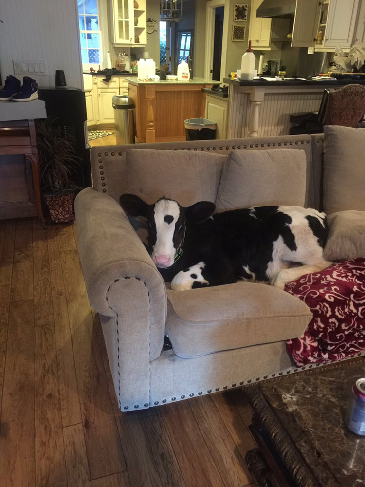 Adorable Cow Who Thinks He Is a Dog Enjoys Relaxing on the Couch & Getting His Chin Scratched