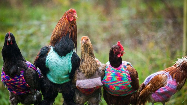 Chicken Vests