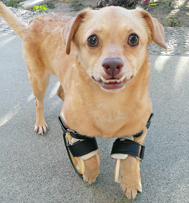 Disabled Dog With an Adorable Underbite Learns to Walk Then Run With a New Set of Prosthetic Legs