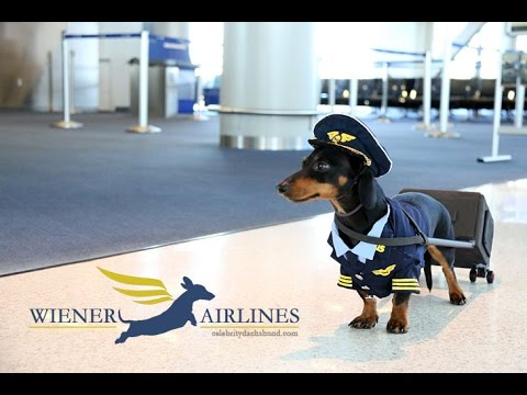 Crusoe the Celebrity Dachshund Shows Off His Very Distinguished Captain's Uniform at the Airport