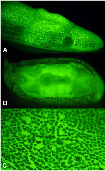 fluorescent eel head lit up