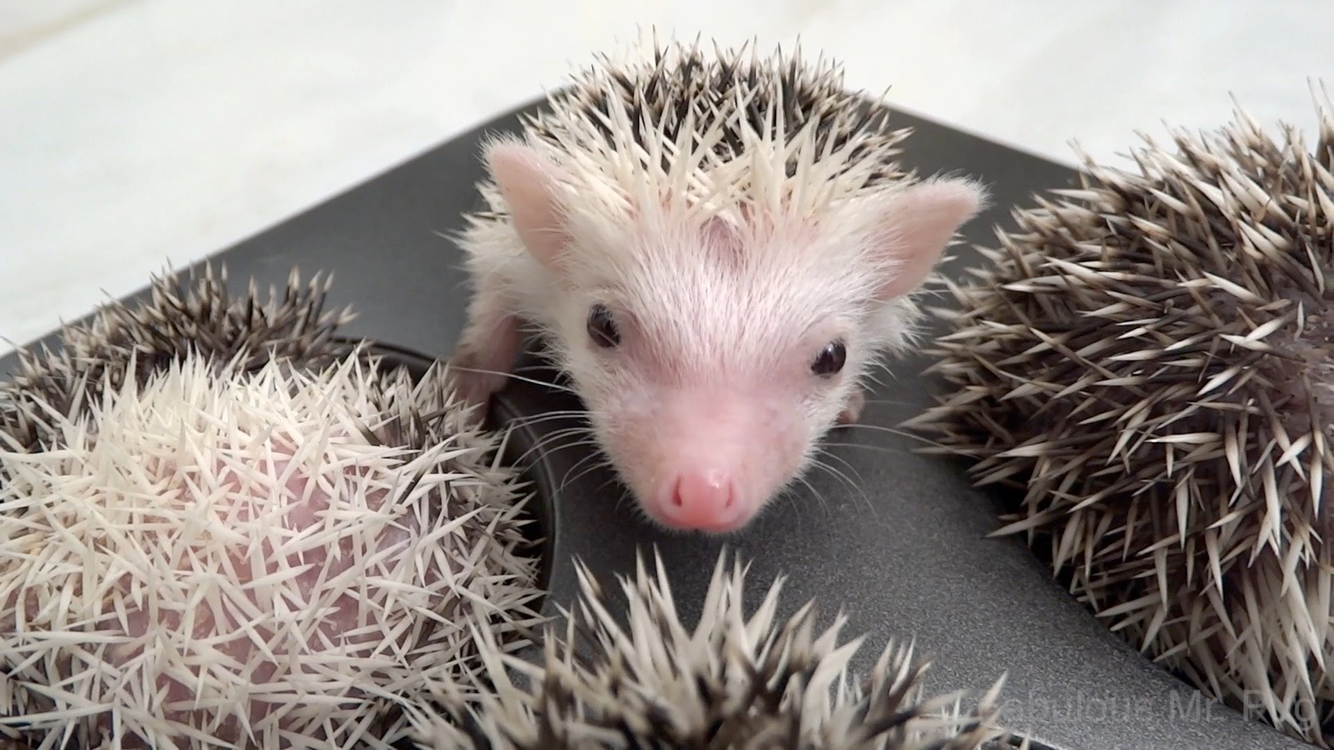 Teeny Tiny Hedgehog Siblings Deliciously Curl Up Perfectly Inside Their Human's Muffin Baking Tin