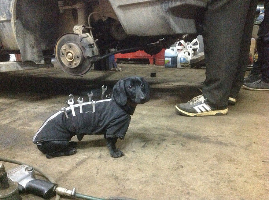 A Little Dachshund Helps His Human Repair a Car While Wearing an Adorable Zippered Tool Vest