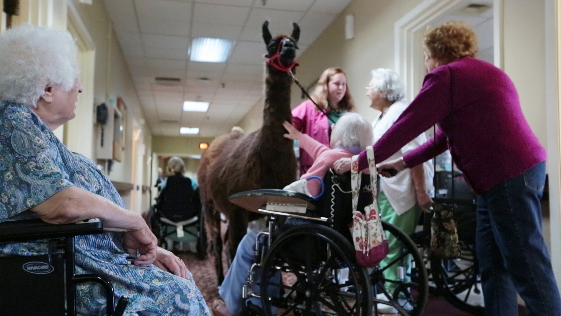 massachusetts nursing home brings in llamas and other unusual