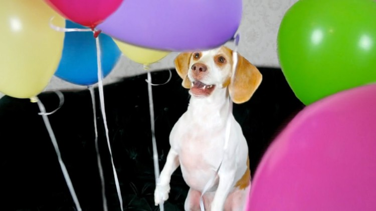 Maymo the Lemon Beagle Systematically Pops a Bunch of Balloons and Scares Away His Little Sister