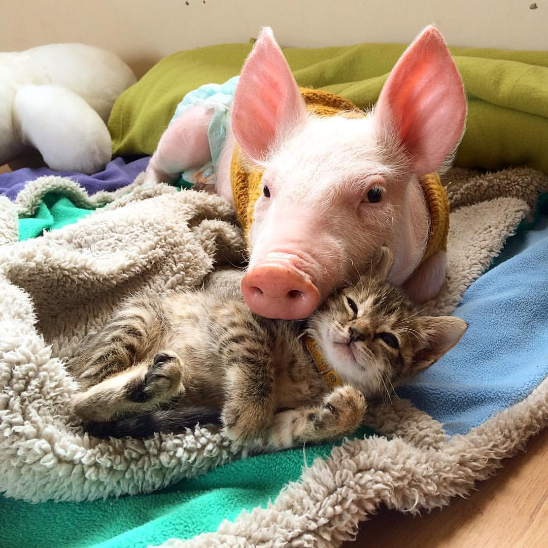 A Teeny Tiny Kitten Lovingly Snuggles With a Rescued Piglet at a Sanctuary in Santiago, Chile