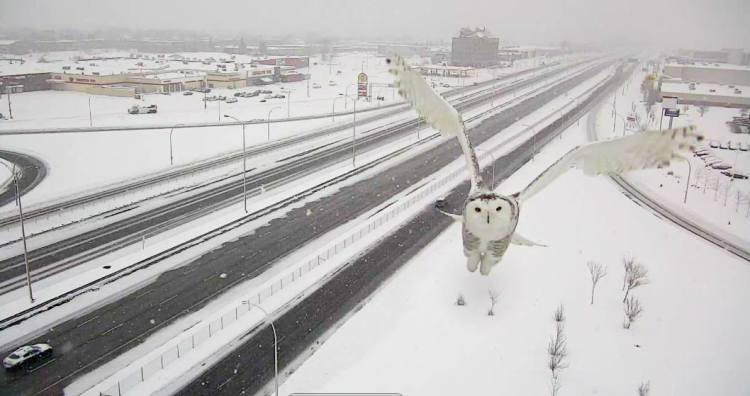 Snow Owl Front