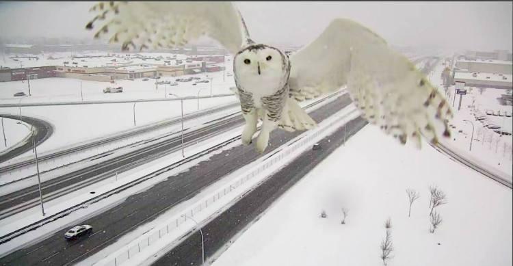 Snow Owl Up Close