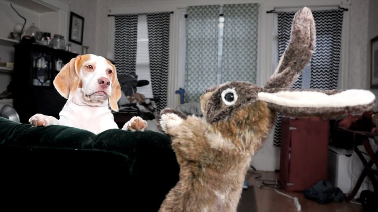 Confused Beagle Confronts a Pushy Plush Bunny Hand Puppet Who Teases Him With Carrots