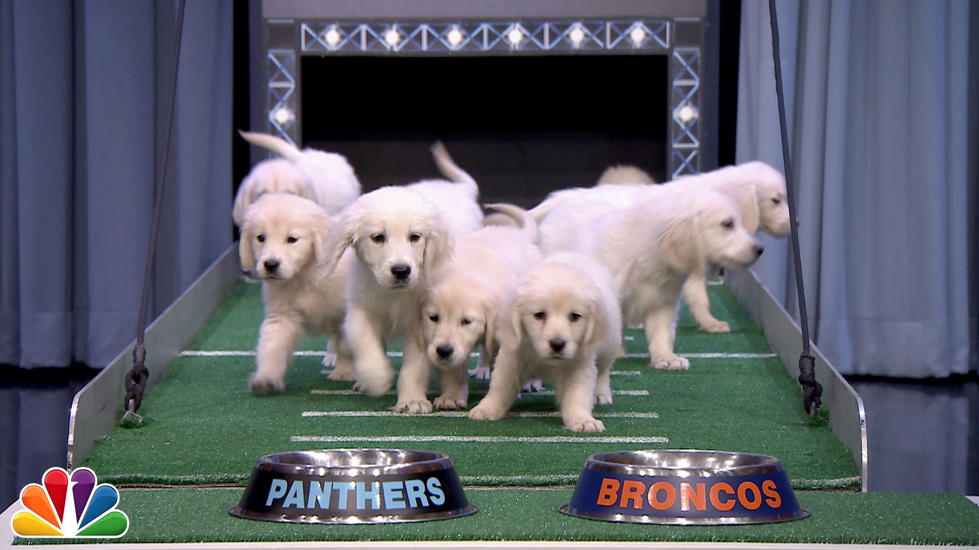 cute puppies predict the winner of super bowl 50