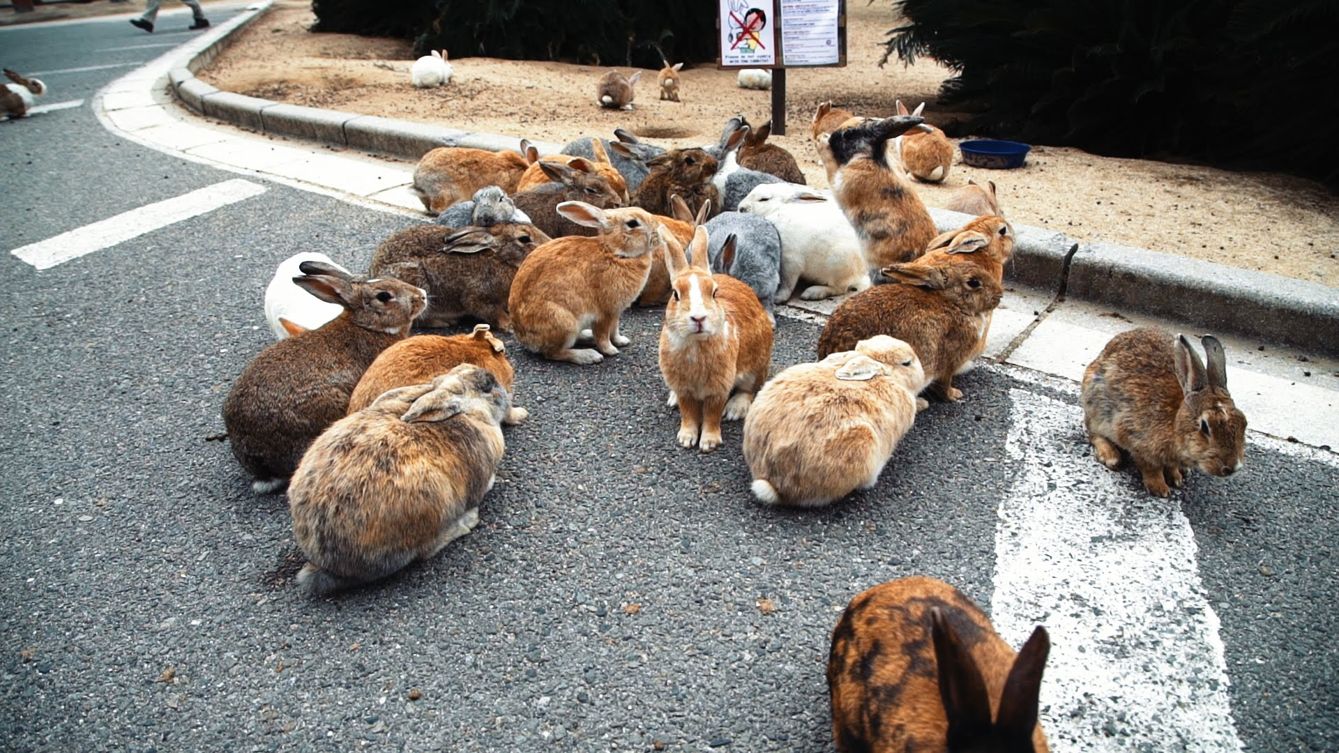 The Interesting Story Behind The Famous Japanese Island That Houses Thousands Of Feral Bunnies