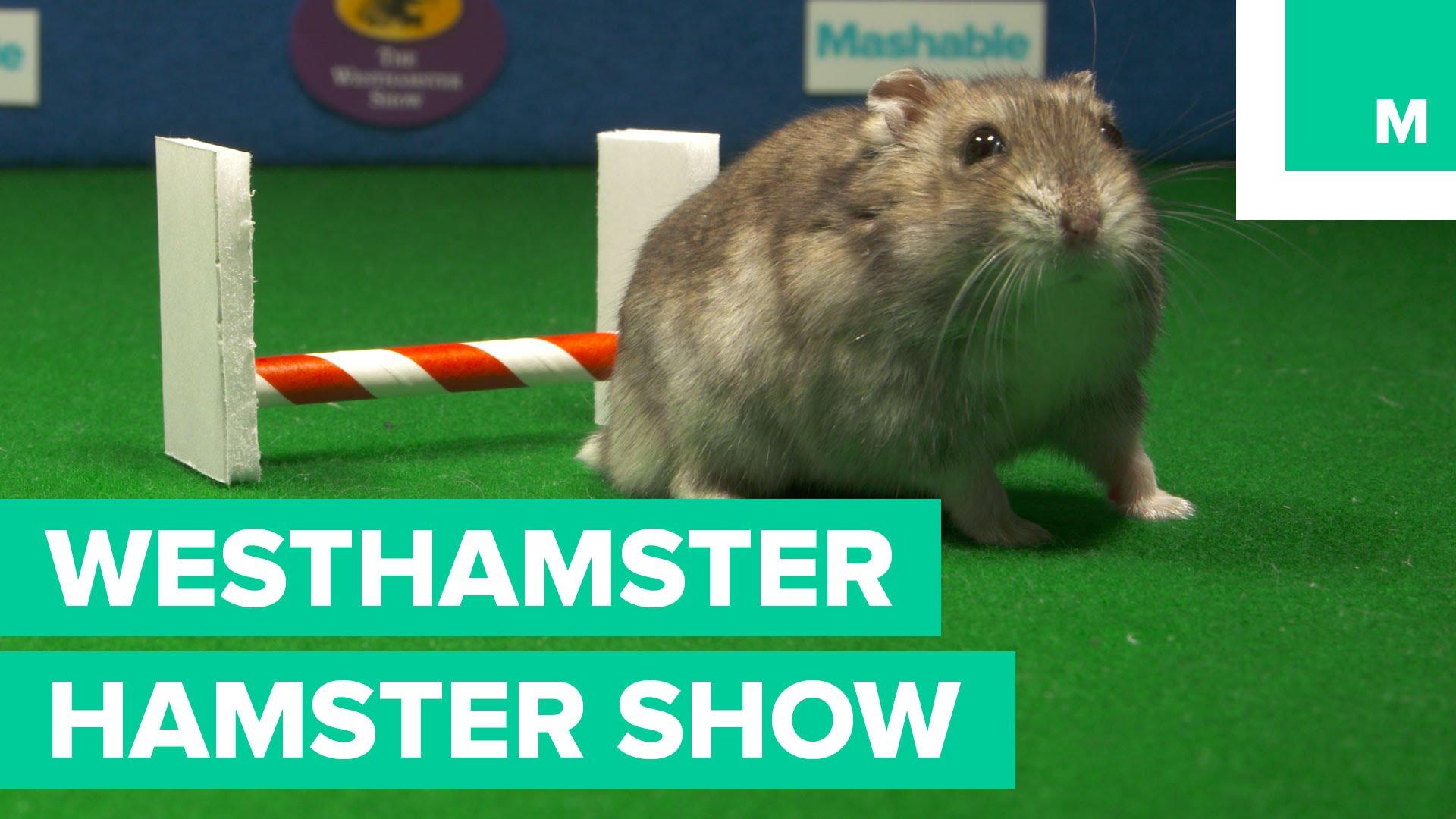 the westhamster hamster show. Black Bedroom Furniture Sets. Home Design Ideas