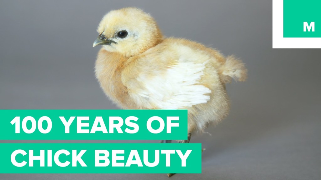 100 Years of Poultry Beauty Shown Decade by Decade in a One Minute Time Lapse Parody