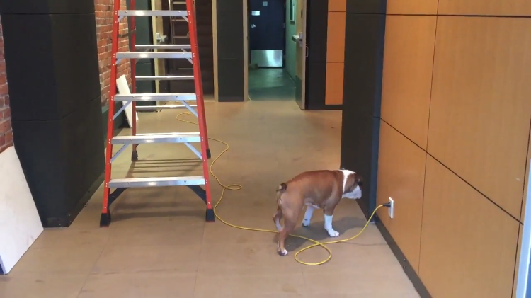 Brave Bulldog Confronts His Biggest Fears by Walking Backwards to Keep an Eye on Them