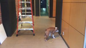 Bulldog Walking Backwards