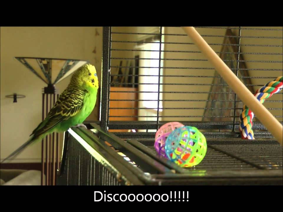 Disco The Parakeet Reciting Phrases From Pop Culture, Films and Television