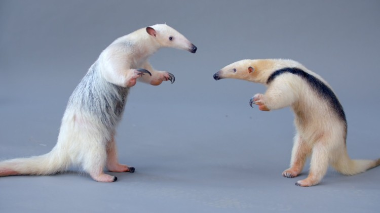 Two Adorable But Incredibly Defensive Tamanduas (Anteaters) Meet for the Very First Time